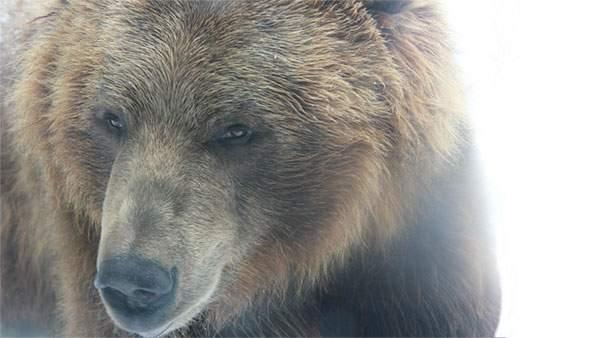 熊の顔をアップで毛並みまで鮮明に撮影した写真壁紙画像