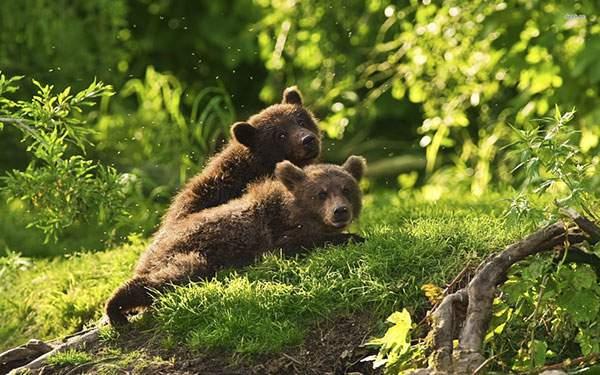 野原で重なり合うようにいる2匹の子熊