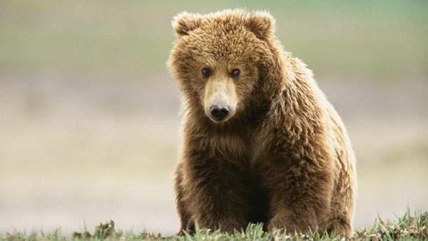 ふわっふわのぬいぐるみみたいな毛並みのクマを撮影した可愛い写真壁紙画像