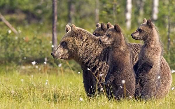 何かを見つめる熊の家族を撮影した綺麗な写真壁紙画像