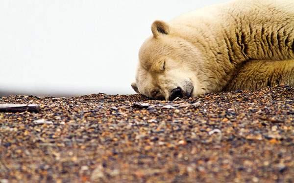 地面に顔を付けて眠るシロクマの可愛い写真壁紙画像