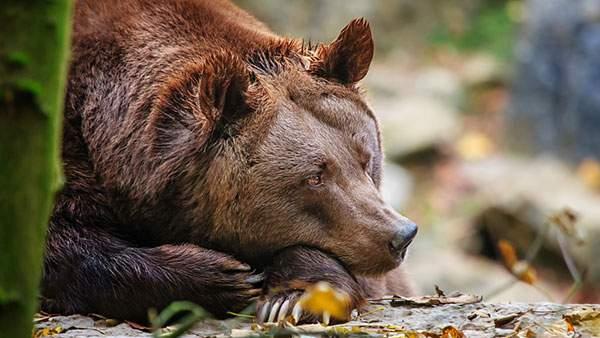 アゴに手をついて寂しそうな表情の森のクマさんの可愛い写真壁紙画像