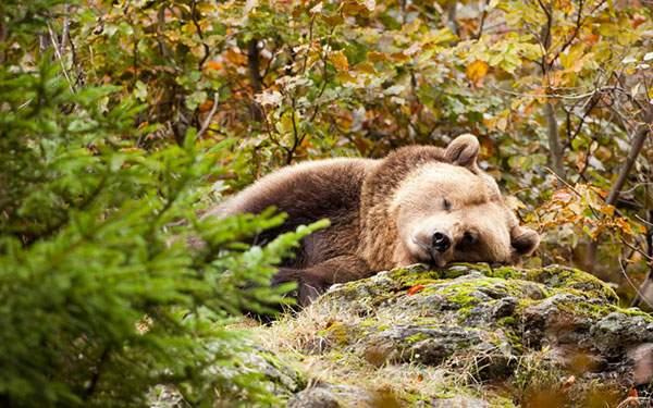 石を枕にして眠る森のくまさんの可愛い写真壁紙画像