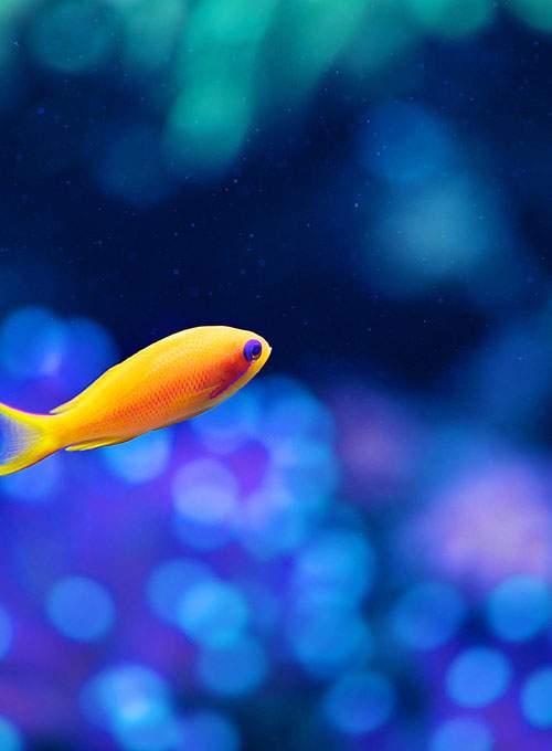 orange_fish