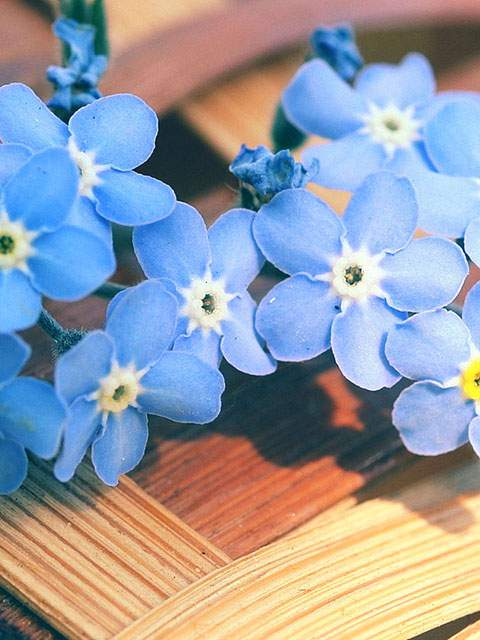 forget-me