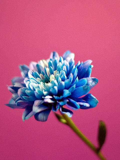 blue-on-pink