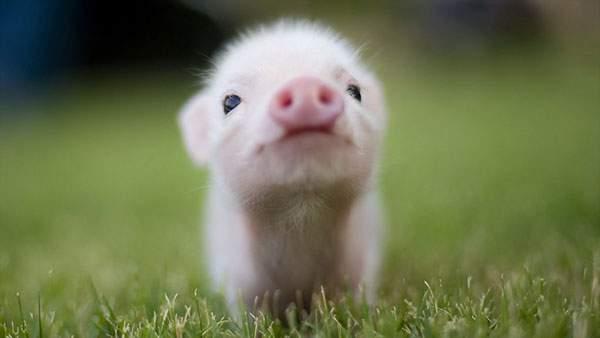 何かを訴えかけるような表情の豚の赤ちゃん