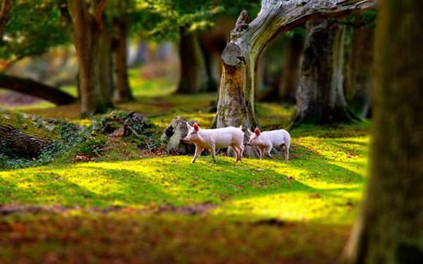 森の中を歩く二匹の豚を撮影した綺麗な写真壁紙画像