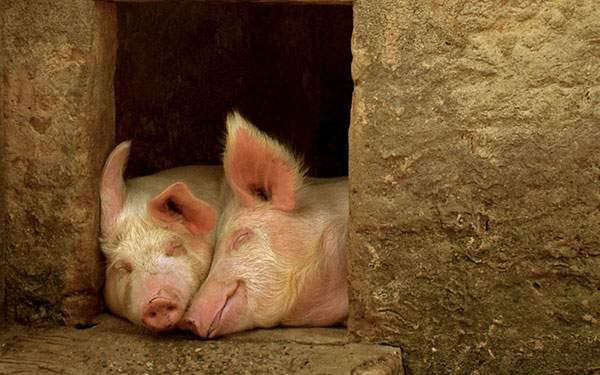 寄り添って眠る二匹の豚の写真壁紙画像