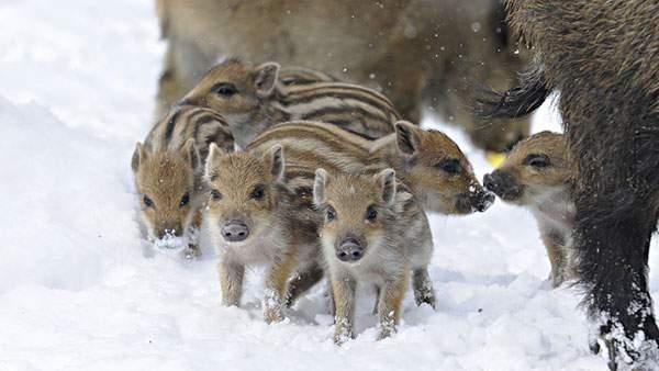 雪の中の猪の子供達を撮影した綺麗な写真壁紙画像