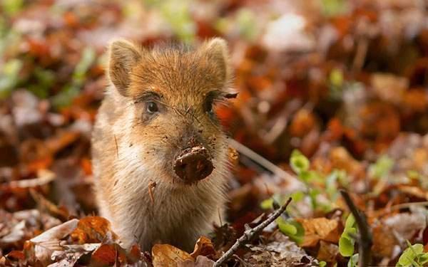 落ち葉の中の赤ちゃん猪を撮影した綺麗な写真壁紙画像