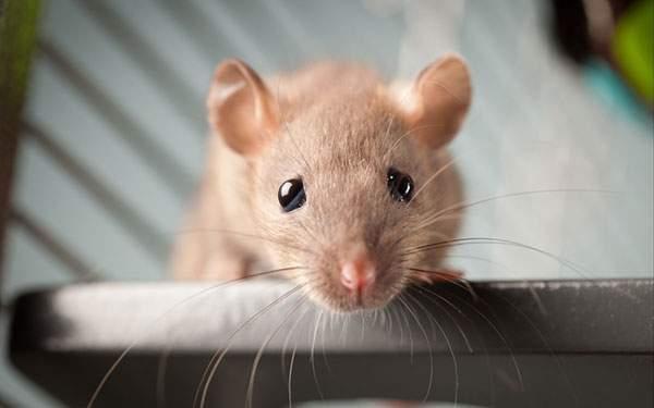 つぶらな瞳でこっちを見つめる可愛いネズミの写真壁紙画像