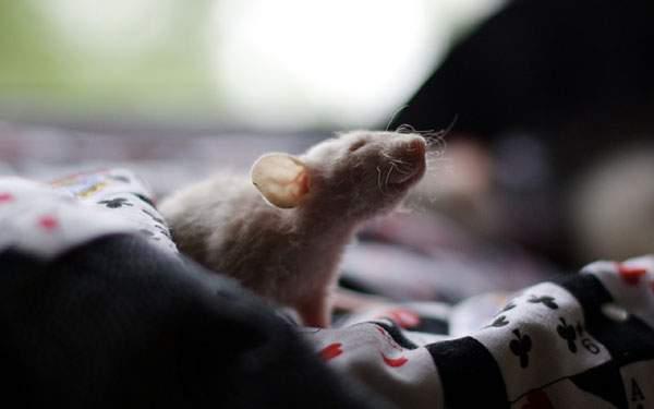 布の上のネズミを撮影した柔らかい色調が綺麗な写真壁紙画像