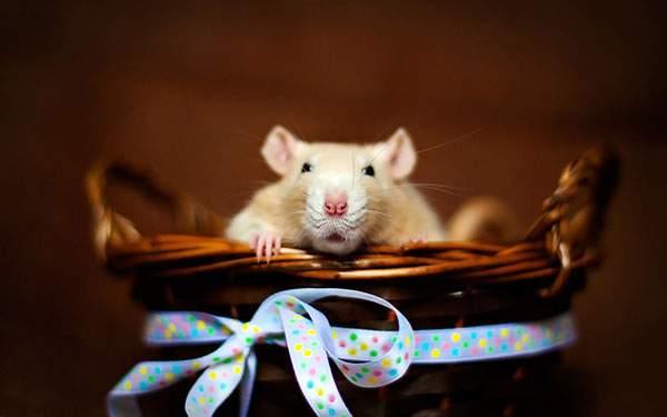 リボンの付いたカゴの中から顔を覗かせるネズミの可愛い写真壁紙画像