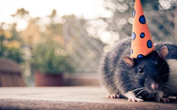 パーティーの三角帽子をかぶった鼠の可愛い写真壁紙画像