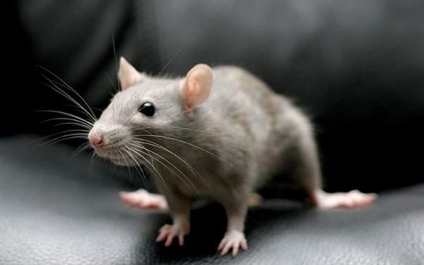鼠を浅い被写界深度で撮影したカワイイ写真壁紙画像