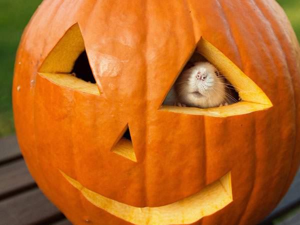 ハロウィンかぼちゃの目の穴から顔を出すネズミの可愛い写真壁紙画像