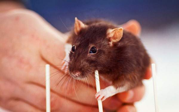 手の中の黒いネズミをアップで撮影した綺麗な写真壁紙画像
