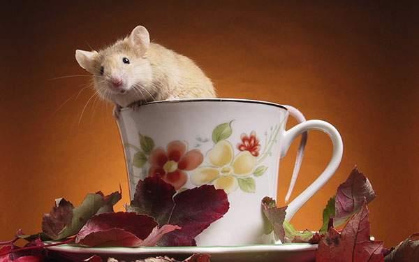ティーカップの中から顔をだすねずみの可愛い写真壁紙画像