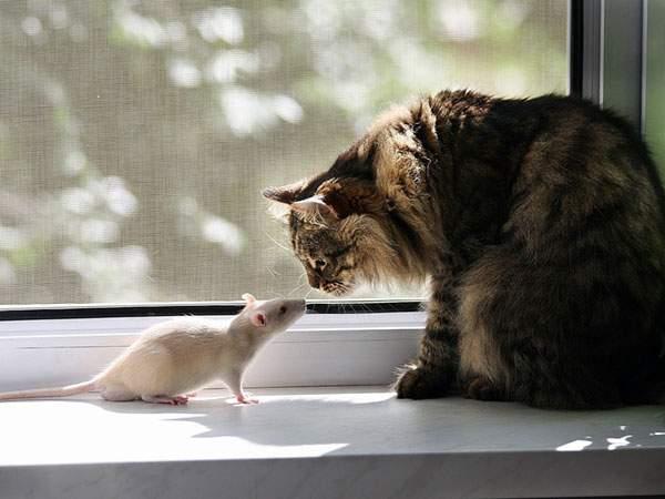 窓際で猫と見つめ合うネズミを撮影したカワイイ写真壁紙画像