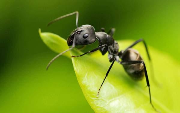葉っぱの上の蟻をアップでマクロ撮影した可愛い写真壁紙画像