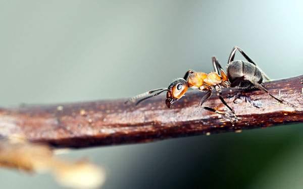 木の枝の上の赤茶色の蟻を撮影したかっこいい写真壁紙画像