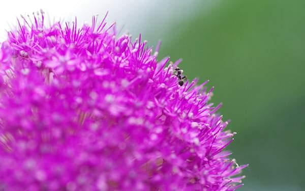 鮮やかな紫色の花の上の蟻を撮影した綺麗な写真壁紙画像