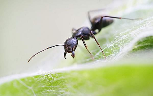 産毛の生えた葉っぱの上を歩くアリを撮影した高画質な写真壁紙画像