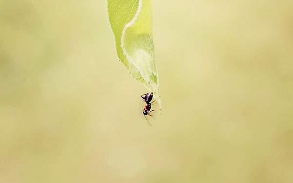 垂れ下がった葉の上を歩く蟻を撮影した綺麗な写真壁紙画像
