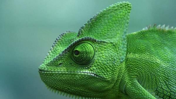 緑色のカメレオンの頭をアップで撮影した綺麗な写真壁紙画像