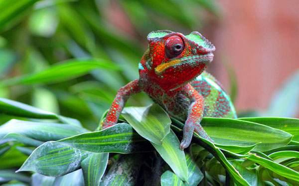 葉っぱの上の赤と緑の綺麗なカメレオンを撮影した写真壁紙画像