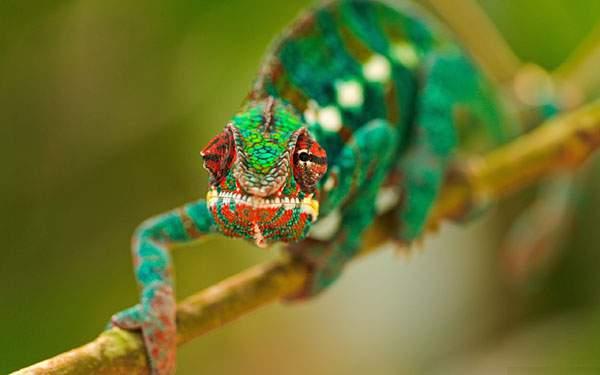 枝に掴まってこっちを見つめる鮮やかなグリーンのカメレオンの写真壁紙画像