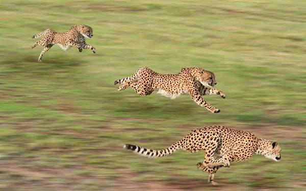 スピードを上げて走る3匹のチーターを撮影したかっこいい写真壁紙画像