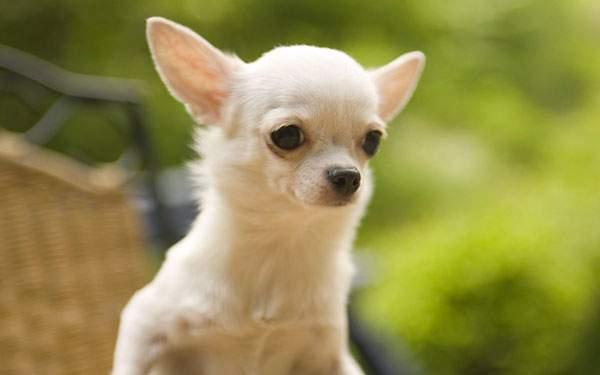 背景ボケが綺麗なチワワ犬を撮影した可愛い写真壁紙画像