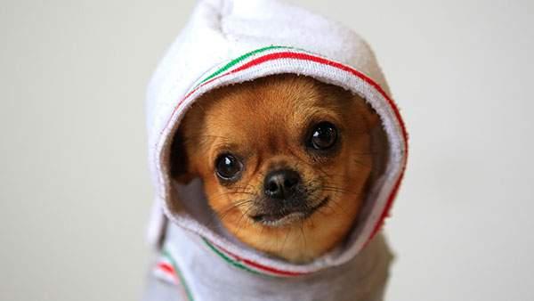 フードのついた服を着てにっこり笑うチワワ犬の可愛い写真壁紙画像