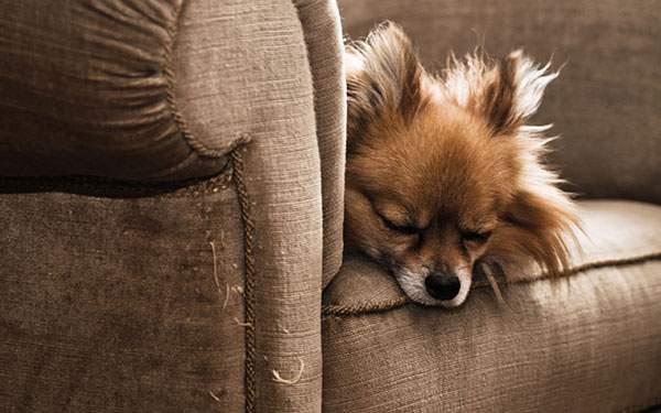 ソファーに顎を乗せて熟睡するチワワの可愛い写真壁紙画像