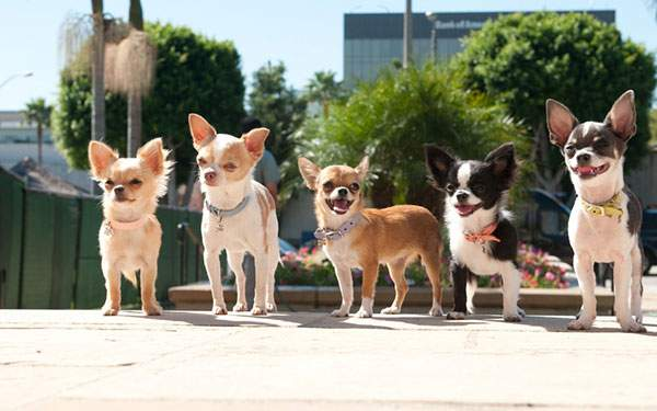 楽しそうに並んだ5匹のチワワ犬を撮影した可愛い写真壁紙画像