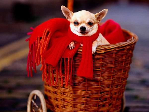 カゴに入って赤いマフラーをした可愛いチワワ犬の写真壁紙画像