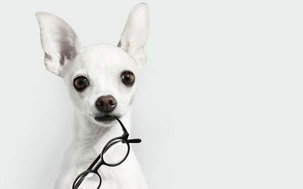 黒縁メガネを加えた真っ白なチワワを撮影した綺麗な写真壁紙画像