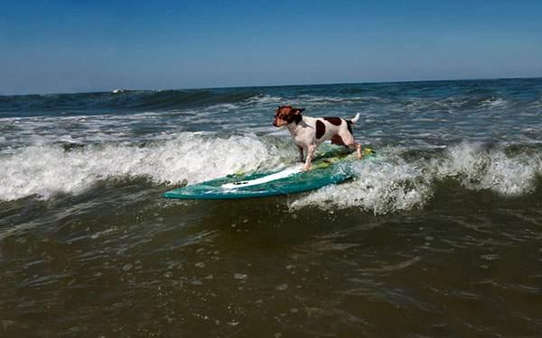 見事にサーフィンをするチワワ犬のかっこいい写真壁紙画像