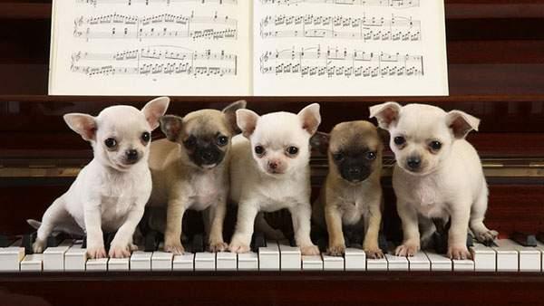 ピアノの鍵盤の上に並んだ5匹のチワワ達の可愛い写真壁紙画像