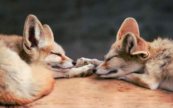 手を取り合って眠る2匹の子狐を撮影した可愛い写真壁紙画像