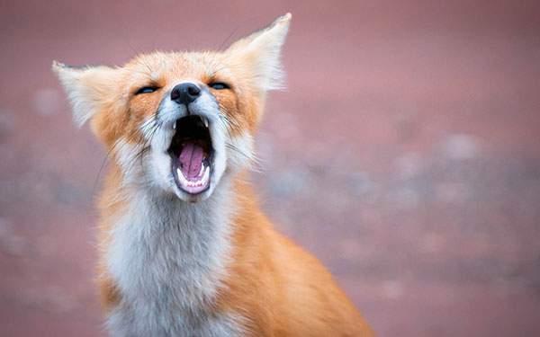 大きなあくびをするキツネの顔をアップで撮影した写真壁紙画像