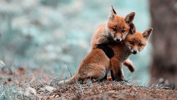 身を寄せ合う2匹の子狐を撮影したカワイイ写真壁紙画像