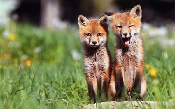 仲良く並んだ2匹のキツネを撮影した可愛い写真壁紙画像