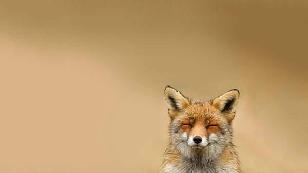 気持ち良さそうに目をつぶった表情のキツネを撮影した可愛い写真壁紙画像