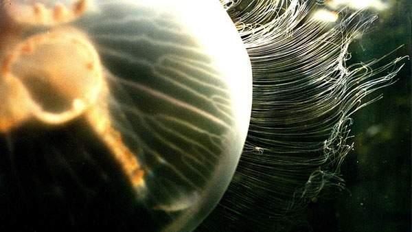 細かい無数の触手を持つクラゲをアップで撮影した綺麗な写真壁紙画像
