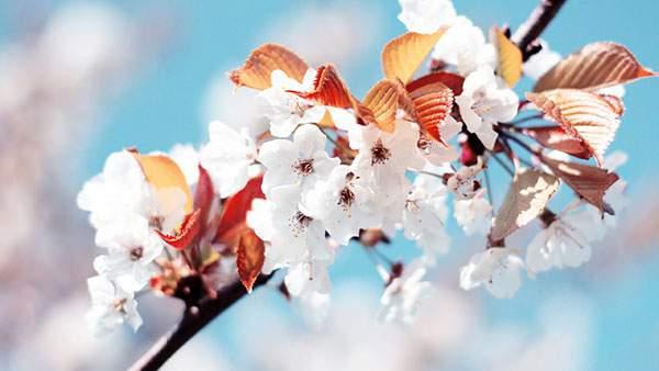 鮮やかな青空をバックに桜の花を撮影した綺麗な写真壁紙画像