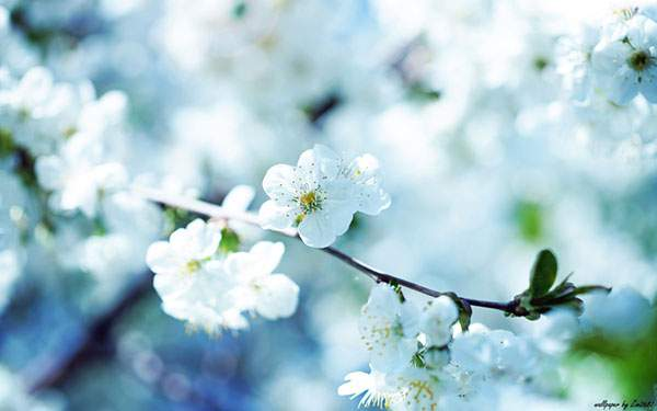 桜の花をブルー系の色調で撮影した美しい写真壁紙画像