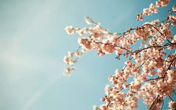 ピンクの桜の花と青空を撮影したレトロ調の写真壁紙画像